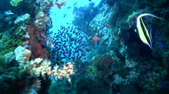 Glassfishes on top of coral reef 2 Stock Footage