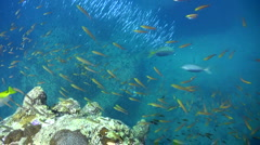 Cloud of glassfishes along boulders chased by jacks 2 - stock footage