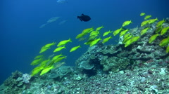 Group of gold-saddle goatfish (Parupeneus cyclostomus) Stock Footage