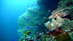 Coral reef with giant gorgonian sea fan - stock footage