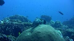 White-spotted grouper (Epinephelus caeruleopunctatus) Stock Footage