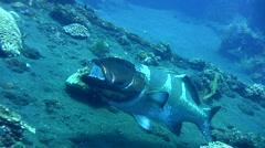 Blacksaddled grouper (Plectropomus laevis) being cleaned Stock Footage