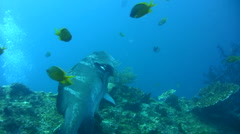 Blacksaddled grouper (Plectropomus laevis) being cleaned 2 Stock Footage