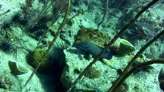 Blue-lined grouper (Cephalopholis formosa) Stock Footage