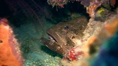 Brown-marbeled or malabar grouper (Epinephelus malabaricus) close up Stock Footage