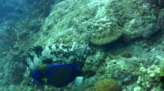 Brown-marbeled or malabar grouper (Epinephelus malabaricus) from side to side Stock Footage