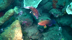 Coral grouper (Plectropomus maculatus) and wrasse kissing Stock Footage