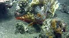 Red-barred grouper (Epinephelus fasciatus) close up Stock Footage