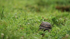 Turtle Walking through Grass Stock Footage