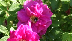 Bee on a flower wild rose5 Stock Footage