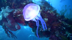 Purple jellyfish on the Liberty Wreck Stock Footage