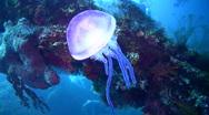 Purple jellyfish on the Liberty Wreck Stock Footage