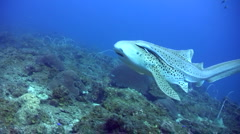 Zebra or Leopard shark (Stegostoma fasciatum) swimming very close Stock Footage