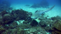 Zebra or Leopard shark (Stegostoma fasciatum) swimming very close 2 Stock Footage