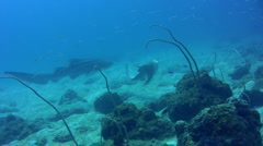 Zebra or Leopard shark (Stegostoma fasciatum) swimming after each other 4 Stock Footage