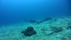 Zebra or Leopard shark (Stegostoma fasciatum) swimming 3 Stock Footage