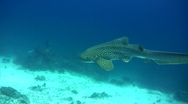 Zebra or Leopard shark (Stegostoma fasciatum) swimming very close 7 Stock Footage
