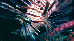 Common lionfish (Pterois volitans) close up Stock Footage