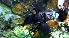 Soldier lionfish (Pterois miles) opening mouth - stock footage