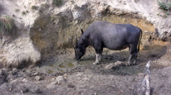 Water-bull, Rinca island, Komodo park, Indonesia Stock Footage