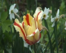 White tulip red-striped Stock Footage