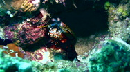 Stock Video Footage of Smashing mantis shrimp (Odontodactylus scyllarus) cleaning itself