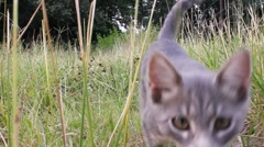Gray tabby sniffs lens Stock Footage