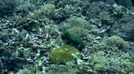 Smashing mantis shrimp (Odontodactylus scyllarus) showing of Stock Footage