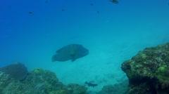 Napoleon wrasse (Cheilinus undulatus) swimming over coral reef Stock Footage