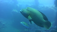 Napoleon wrasse (Cheilinus undulatus) with trevally Stock Footage
