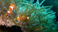 False clown anemonefish or nemo (Amphiprion ocellaris) with cleaner shrimp 2. Stock Footage