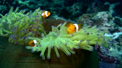 False clown anemonefish or nemo (Amphiprion ocellaris) on closed anemone 2 Stock Footage
