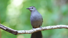 Gray Catbird Stock Footage