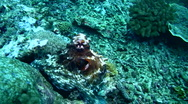 Stock Video Footage of Common reef octopus (Octopus cyanea) changing color and shape 4