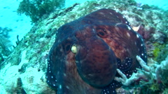 Common reef octopus (Octopus cyanea) changing color and shape 5 - stock footage