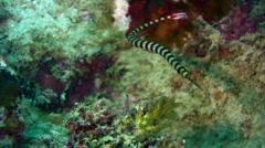 Ringed or banded pipefish (Doryrhamphus dactyliophorus) 2 Stock Footage