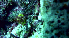 Whiskered pipefish (Halicampus macrorhynchus) Stock Footage