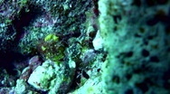 Stock Video Footage of Whiskered pipefish (Halicampus macrorhynchus)