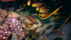 Yellow banded pipefish (Doryrhamphus pessuliferus) Stock Footage