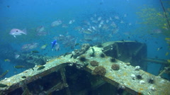 Black spotted porcupinefish (Diodon hystrix) with school of fishes on wreck Stock Footage