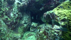 Black-blotched porcupinefish (Diodon liturosus) puffing down Stock Footage
