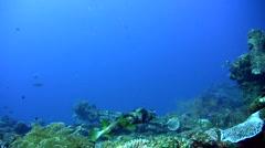 Black-blotched porcupinefish (Diodon liturosus) mating dancing Stock Footage