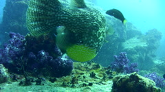 Map pufferfish (Arothron mappa) eating soft coral Stock Footage