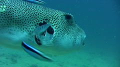 Starry pufferfish (Arothron stellatus) being cleaned Stock Footage