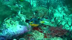 Black-spotted pufferfish (Arothron nigropunctatus) Stock Footage