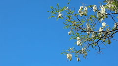 Flowering acacia Stock Footage