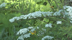 Bush of a blossoming spiraea. Stock Footage