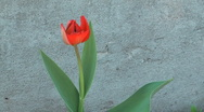 Close up shot of beauty red tulip against a concrete wall. Stock Footage