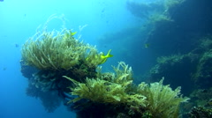 Coral rabbitfish (Siganus corallinus) on the Liberty Wreck Stock Footage