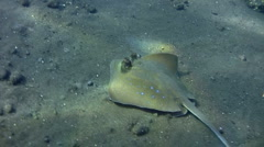 Blue-spotted stingray (Dasyatis kuhlii) on the sand Stock Footage